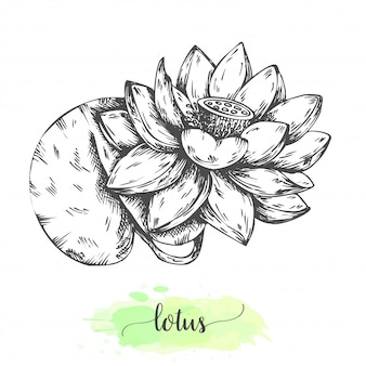 手描きの蓮の花。白で隔離咲くスイレン。ビンテージスタイルのベクトル図。熱帯の花のスケッチスイレンの概要