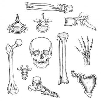 人間の骨格、骨、関節。ベクタースケッチ分離イラスト。解剖学の骨セット。医療整形外科の写真。膝、頭蓋骨、脊椎の描画