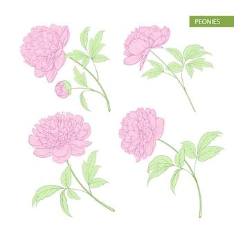 牡丹の花の要素のセット。