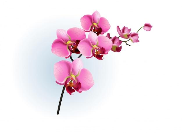 ピンクの蘭の枝。ファレノプシス、花、観葉植物。