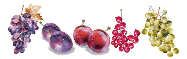ブドウとプラムの水彩画。秋秋収穫セット
