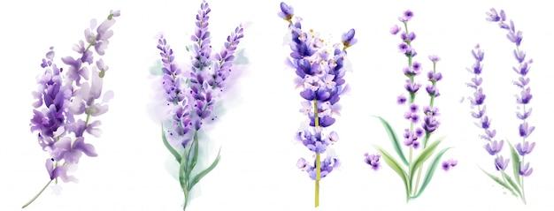 ラベンダーは水彩画を設定します。分離された美しい花の花束