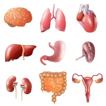人間の臓器セット