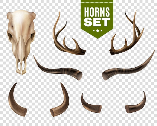 牛の頭蓋骨と角セット