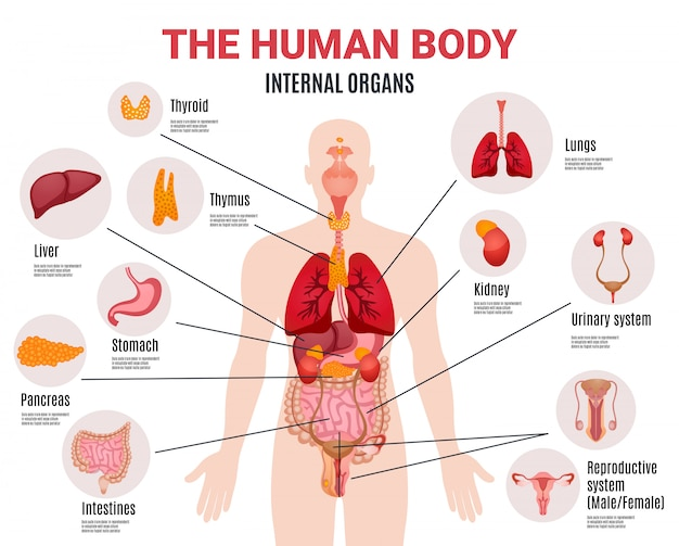 Плакат инфографики внутренних органов человека