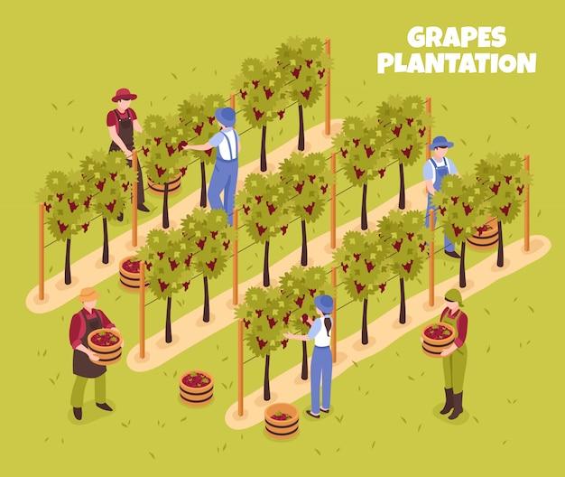 Плантация винограда во время сбора урожая рабочих с корзинами спелых ягод на зеленой изометрической иллюстрации