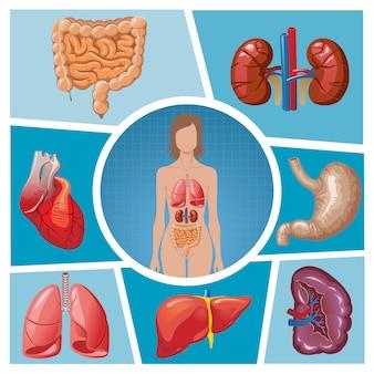 分離された肺、腎臓、胃、脾臓、肝臓、心臓、腸、腸と漫画の人体のパーツ構成