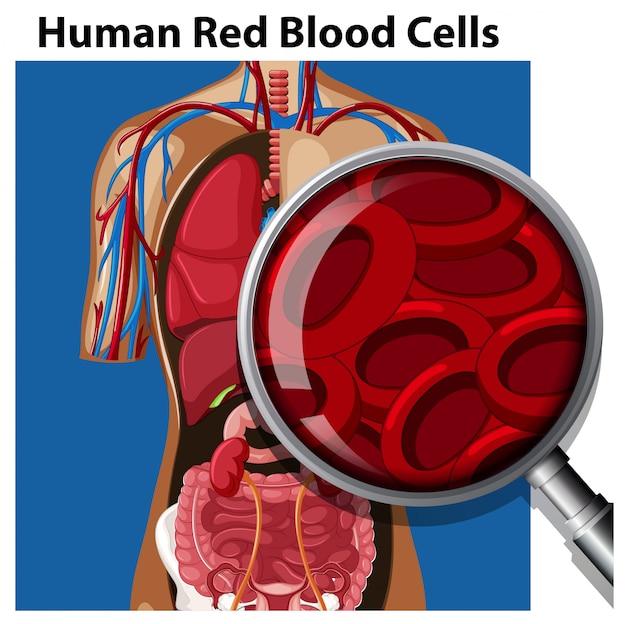 ヒト赤血球の解剖学