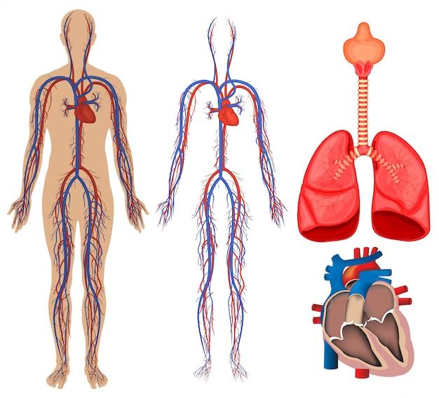 人体の循環系