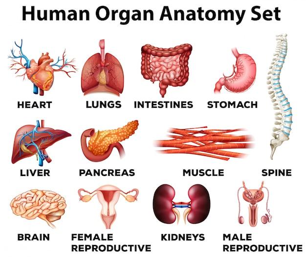 人間の器官の解剖学的セット