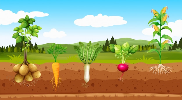 農業野菜と地下の根
