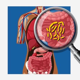 ヒトの腸内細菌叢