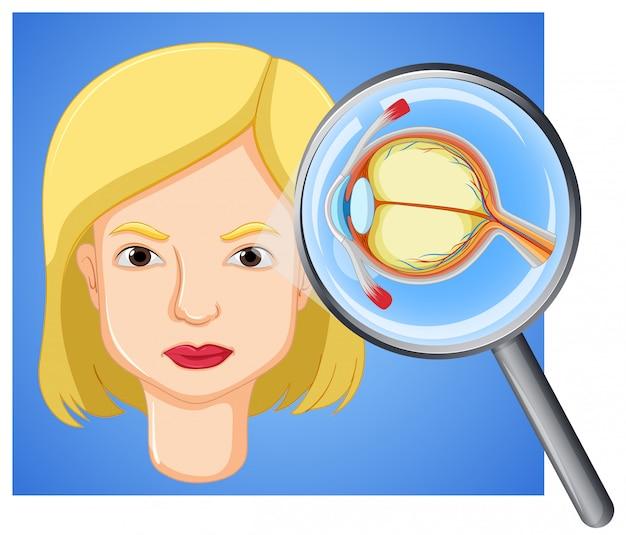 女性の眼球の解剖学