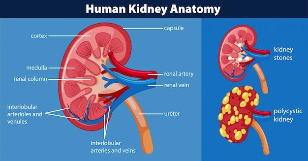 人間の腎臓の解剖図
