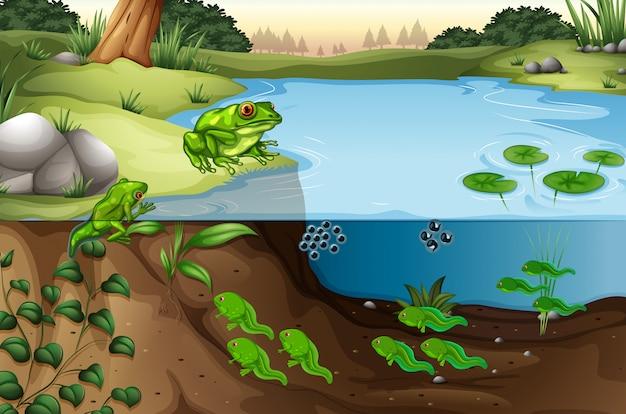 池の中のカエルの場面