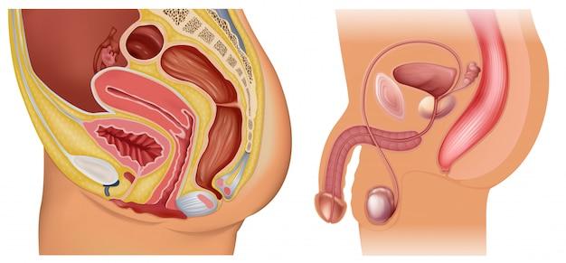 女性と男性の生殖器系