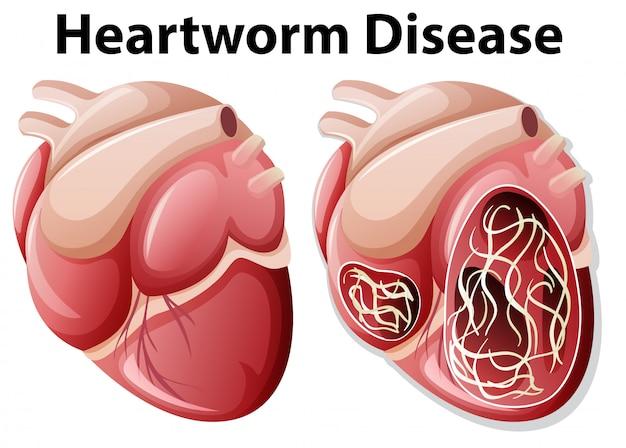 Диагноз сердечного червя на белом фоне