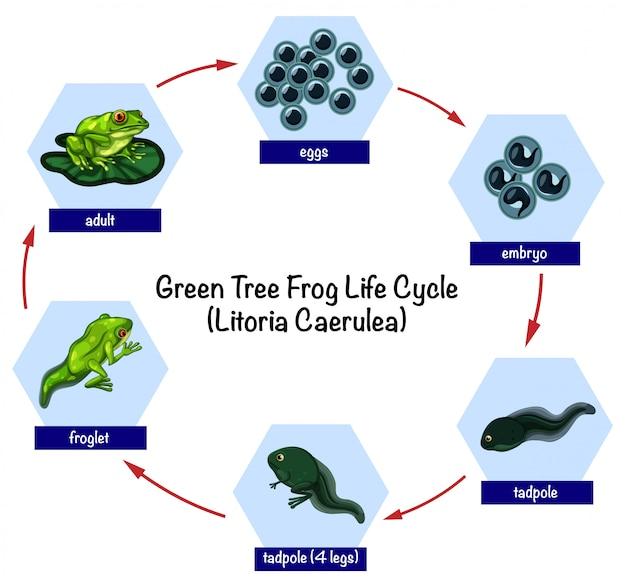 緑の木のカエルのライフサイクル
