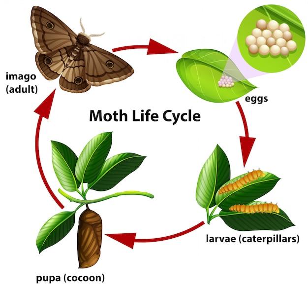 蛾のライフサイクル図