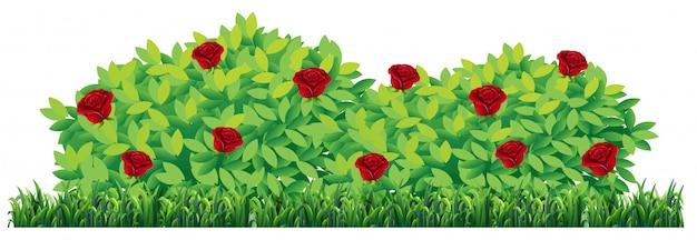 白い背景で隔離されたバラ植物