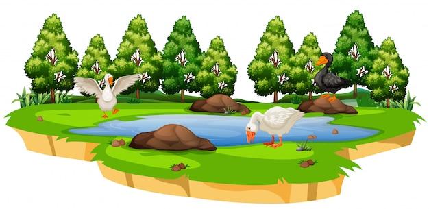 池で孤立したアヒル
