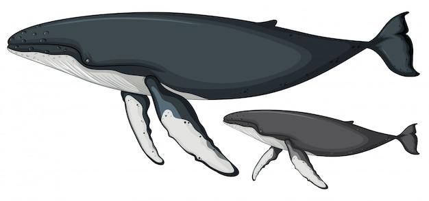 白い背景の上のザトウクジラ
