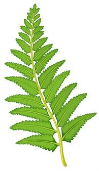 白い背景の上のシダの葉