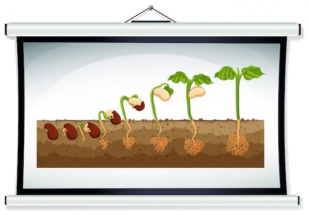 Диаграмма, показывающая выращивание растения