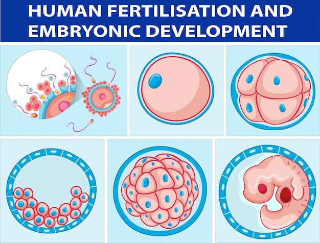 人間の受精および胚発生を示す図