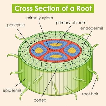 Диаграмма, показывающая поперечное сечение корня