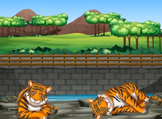 Сцена с двумя тиграми в зоопарке