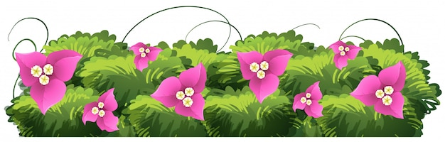 Цветы бугенвиллии в розовом цвете