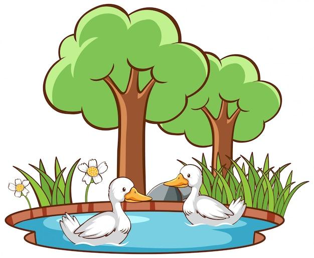 Изолированные две утки в пруду