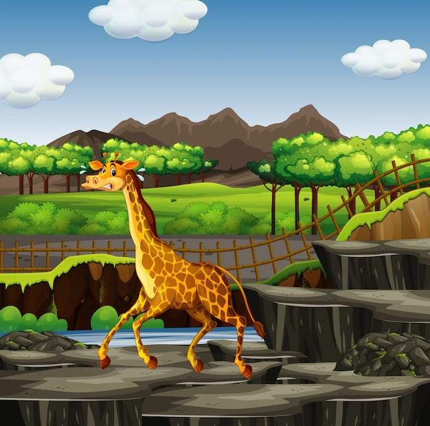 Сцена с жирафом в зоопарке