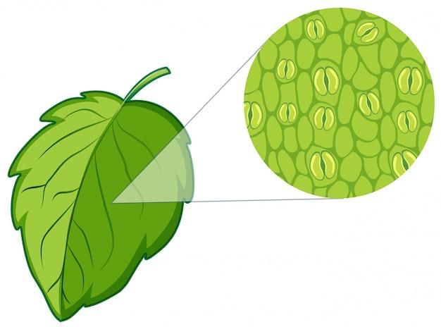 Диаграмма, показывающая растительную клетку