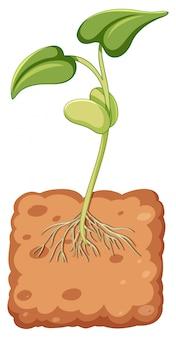 地下から成長している豆もやし