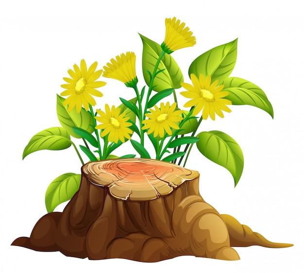 白地に黄色のガーベラデイジーの花