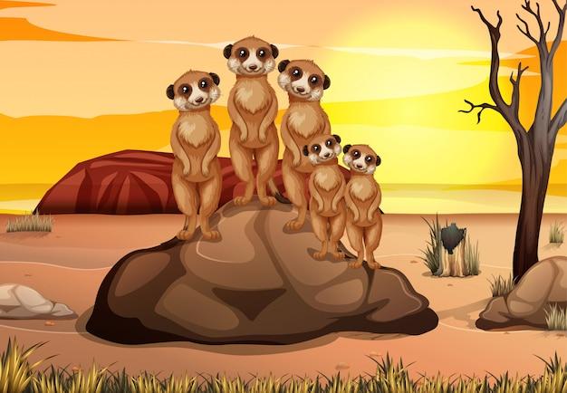 Сцена со множеством сурикатов, стоящих на скале