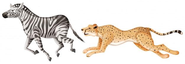 Гепард гоняется за зеброй на белом