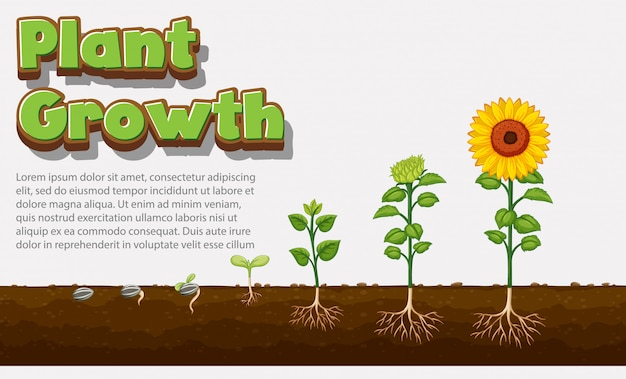 Диаграмма, показывающая, как растения растут от семян до подсолнечника