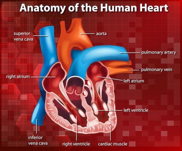 人間の心臓の解剖学を示す図