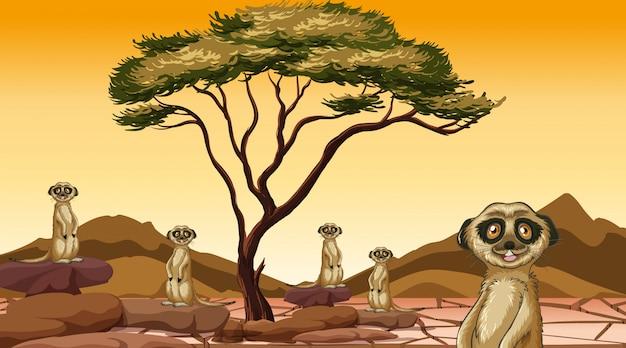 Сцена с сурикатами в поле