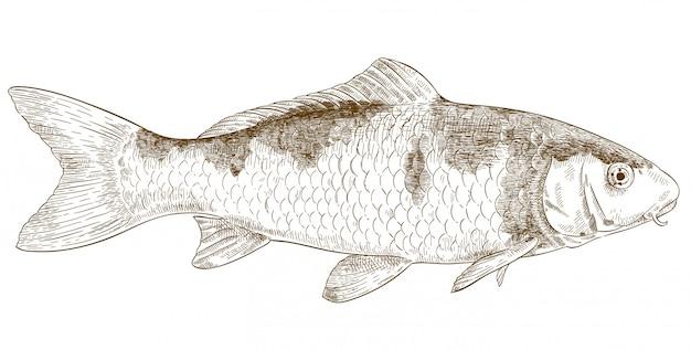 Иллюстрация гравировки кои рыбы