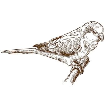 Гравюра рисования иллюстрации попугай африканского монаха