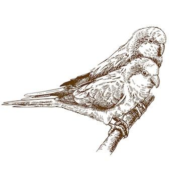 Гравюра рисунок иллюстрации африканского попугая монах два