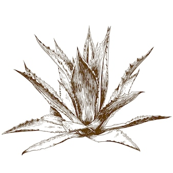 Гравюра рисования иллюстрации агавы