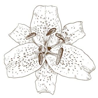 Гравюра иллюстрации цветка тигровой лилии