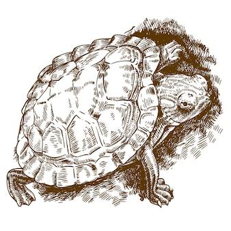 Гравюра иллюстрации черепахи