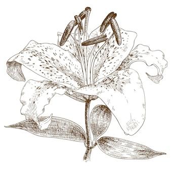 Гравюра иллюстрации лилии