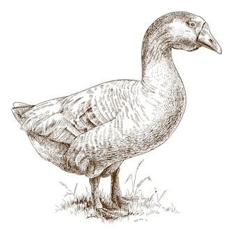 Гравюра иллюстрации большого гуся